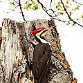 Mr.pileated Poses by Cheryl Baxter