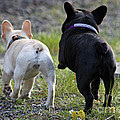 Ms. Quiggly And Buddy French Bulldogs by Tap On Photo