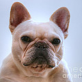 French Bulldog Seriously by Tap On Photo