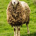 Mt Angel Abbey Sheep - Oregon by Gary Whitton