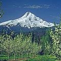 1m5125-mt. Hood In Spring by Ed  Cooper Photography