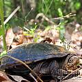 Mud Turtle by Joshua Bales
