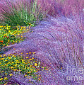 Muhly Grass In The Morning by Lydia Holly