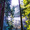 Muir Woods - Fog And Light by Gej Jones