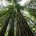 Muir Woods I by Mark Harrington