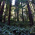 Muir Woods by Jacqueline Ross