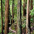 Muir Woods by Niels Nielsen