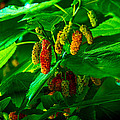 Mulberries - Fruit - Berries by Barry Jones