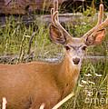 Mule Deer by Andrea Goodrich