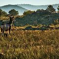 Mule Deer At De Weese Reservoir by Priscilla Burgers