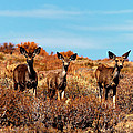 Mule Deer Bodie Hills Ca by Troy Montemayor