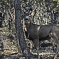 Mule Deer Buck by Bob Hislop
