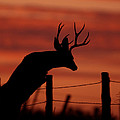 Mule Deer Buck Jumping Fence At Sunset by Gary Langley