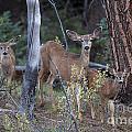 Mule Deer Doe With Fawns by Earl Nelson