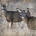 Mule Deer Does by Dianne Phelps