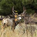 Mule Deer I by Chad Dutson