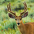 Mule Deer In Rocky Mountain National Park by Fred Stearns