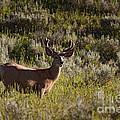 Mule Deer In Velvet   #2114 by J L Woody Wooden