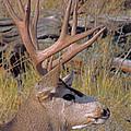 Mule Deer by Lynn Sprowl