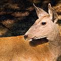 Mule Deer by Melinda Fawver