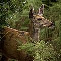 Mule Deer On Alert by Ernie Echols