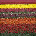 Mult-colored Tulip Field by Jim Corwin