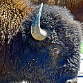 Multi-color-eyed Bison Near Wildlife Loop Road In Custer State Park-south Dakota by Ruth Hager