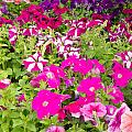 Multi-colored Blooming Petunias Background by Stephan Pietzko