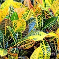 Multi-colored Croton by Maria Urso