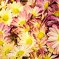 Multi-colored Daisies by  Onyonet  Photo Studios