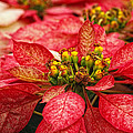 Multi Colored Poinsettias by Donna Pagakis
