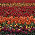 Multi-colored Tulip Fields  by Jim Corwin