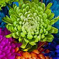 Multicolored Chrysanthemums  by Jim Corwin