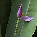 Musa Ornata - Pink Ornamental Banana Flower - Kepaniwai Maui Hawaii  by Sharon Mau