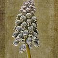 Muscari Armeniacum With Textures by John Edwards