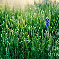 Muscari Or Grape Hyacinth by Mary  Smyth