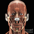 Muscles Of The Face by Science Picture Co