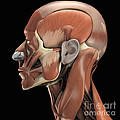 Muscles Of The Head by Science Picture Co