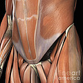 Muscles Of The Lower Abdomen by Science Picture Co