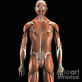 Muscles Of The Upper Body Rear by Science Picture Co