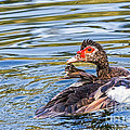 Muscovy Hen by Kate Brown