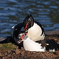 Muscovy Love by Maria Urso