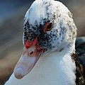Muscovy Portrait 2013 by Maria Urso