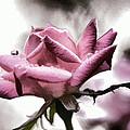 Museum Park Pink Rose by Trish Tritz