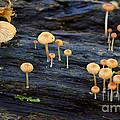 Mushrooms Amazon Jungle Brazil 4 by Bob Christopher