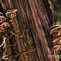 Mushrooms Redwood Forest