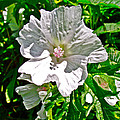 Musk Mallow Along Trail To Cap Gaspe In Forillon National Park-quebec  by Ruth Hager