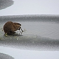 Muskrat Meal On Ice by Bonfire Photography