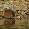 Muskrat Reflection by James Peterson
