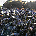 Mussels On A Rock by Diego Re